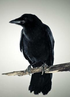 黑烏鴉之死